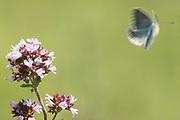 Chalkhill blue butterfly (Lysandra coridon) in flight. Denbies Hillside, Nr. Dorking, Surrey, UK.