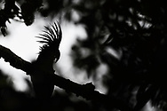 """Palm cockatoo (Probosciger aterrimus) in the lowland rainforest, Aiduma Island, near Triton Bay, Mainland New Guinea, Western Papua, Indonesian controlled New Guinea, on the Science et Images """"Expedition Papua, in the footsteps of Wallace"""", by Iris Foundation"""