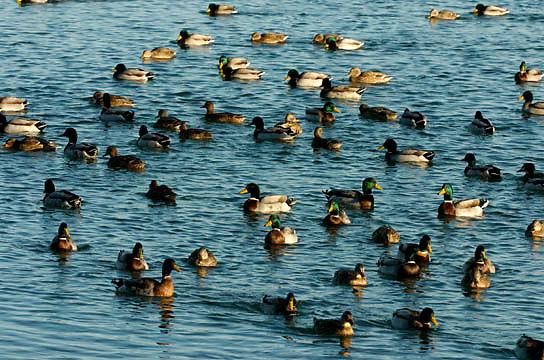 Mallard ducks in Lake Superior near Park Point, Duluth, Minnesota. Winter.