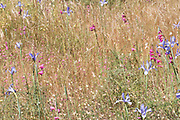 Wild Gladiolus, Gladiolus illyricus, and Wild Iris, Iris subbiflora, Ria Formosa East, Algarve, Portugal, flower meadow,