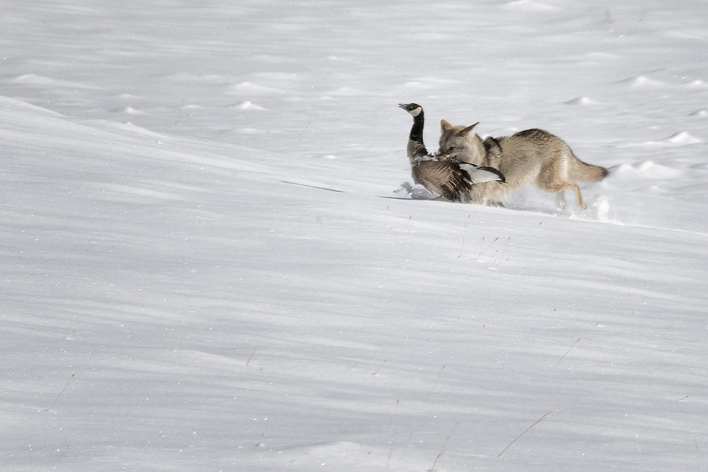 A coyote nabs a Canada goose along the Madison River in Yellowstone and runs it to a safe place to eat.