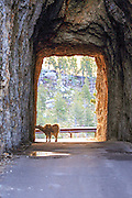 A Rocky Mountain Goat licks minerals from the walls of a tunnel in the Black Hills of South Dakota
