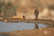 Corn Bunting (Emberiza calandra) Drinking water. Photographed in Israel in June