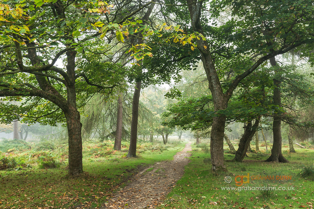 A light mist helps to create an ethereal early autumn scene of a path running through Longshaw Estate woods. Derbyshire, England, UK.