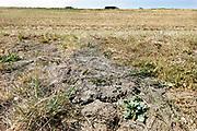 Nederland, Tiel, 13-7-2018 Door het uitblijven van regen is de grond, kleigrond, van deze dijk langs de Waal gebarsten. Foto: Flip Franssen