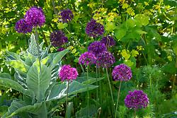 Allium hollandicum 'Purple Sensation' AGM with nigella and Smyrnium perfoliatum - Perfoliate alexanders
