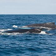 Humpback Whale (Megaptera novaeangliae). A male chases a female during mating season.
