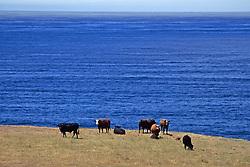 Cows On California Coast