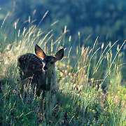 Mule Deer, (Odocoileus hemionus) Spotted fawn in the footshills of the Bridger mountains. Montana. Summer.