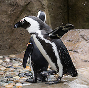African penguins (Spheniscus demersus) live on the rocky islets and coastal beaches of South Africa and Namibia, and are endangered. Photographed in the Vancouver Aquarium, 845 Avison Way, Vancouver, British Columbia, V6G 3E2 CANADA.