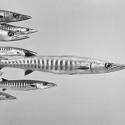 Chevron barracuda (Sphyraena putnamae) in Palau, with one fish leading the others.