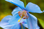 Meconopsis (Blue Poppy) at The Borde Hill Garden, Haywards Heath, West Sussex, UK