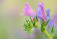 Sand Vipers gloss (Echium sabulicola)<br /> Sardinia, Italy