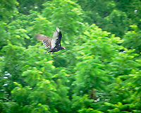 Turkey Vulture in flight. Image taken with a Fuji X-T3 camera and 80 mm f/2.8 macro lens