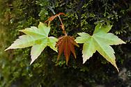 Palmate or Japanese Maple, Acer palmatum, Tangjiahe National Nature Reserve, Sichuan, China