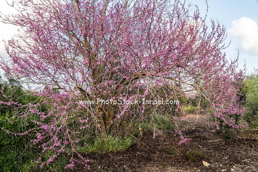 Flowering Judas Tree Cercis siliquastrum Photographed in Israel in February