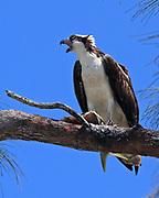 Osprey with fish at Ding Darling National Wildlife Refuge on Sanibel Island, Florida