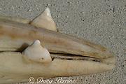 teeth of Gervais' beaked whale, Mesoplodon europaeus