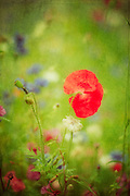 http://www.trevillion.com/search/preview/poppy-and-flowers-in-meadow/0_00218424.html