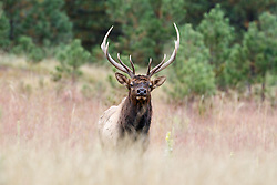 Bull elk in high grass during fall rut, Vermejo Park Ranch, New Mexico, USA.