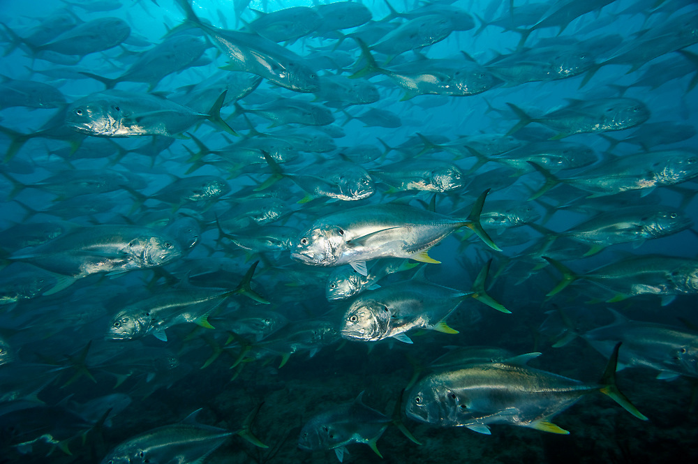 Crevalle Jacks, Caranx hippos, swarm a shallow reef offshore Palm Beach County, Florida, United States.