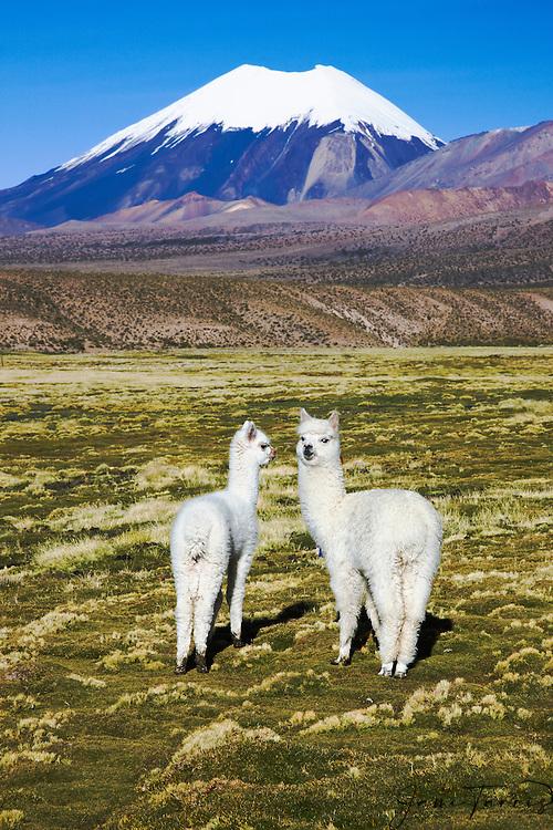Llamas  (Lama glama)  in front of volcano Sajama on the Altiplano , Bolivia