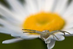 May 30, 2017 - Elkton, OREGON, U.S - A small spider appears to defend a wildflower growing on a hillside near Elkton in rural southwestern Oregon. (Credit Image: © Robin Loznak via ZUMA Wire)