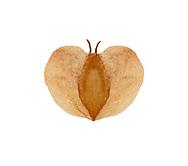 Downy Birch seed - Betula pubescens