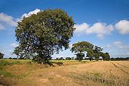 Oak Trees in Farmland Southrepps, Norfolk