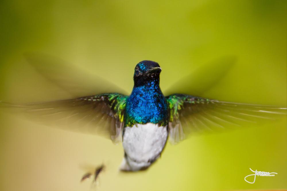 #White-necked Jacobin, #Hummingbird