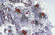 Fresh snow on Ponderosa Pine branches and cones, Bryce Canyon National Park, Utah