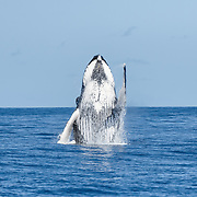 Humpback whale (Megaptera novaeangliae australis) breaching on a beautiful sunny day.