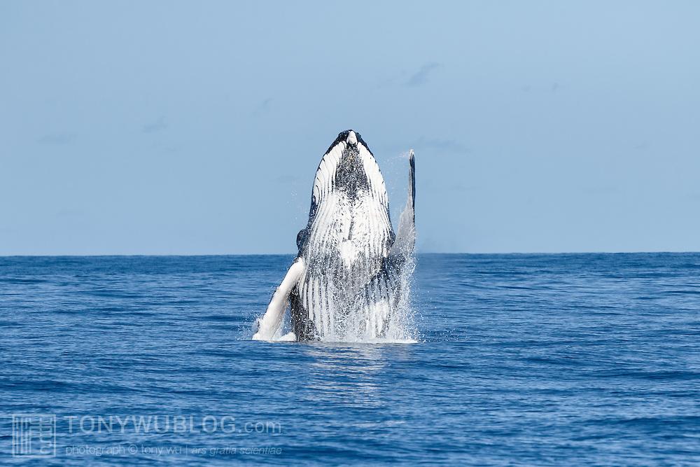 Humpback whale (Megaptera novaeangliae australis) breaching on a beautiful sunny day.