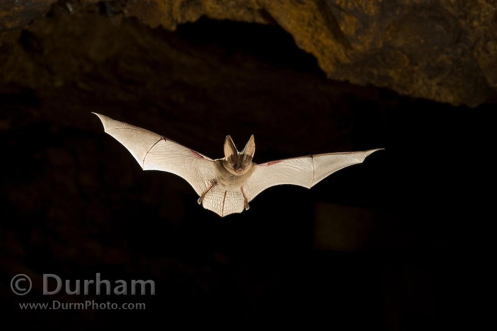 A Townsend's big-eared bat (Corynorhinus townsendii) in an abandoned mercury sulfide mine. Central Oregon.