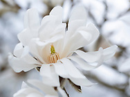 Magnolia stellata at Kew Gardens, London, UK