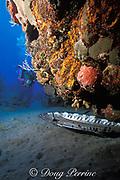 diver and great barracuda, Sphyraena barracuda, Saba, Netherlands Antilles, ( Eastern Caribbean Sea )   MR 95
