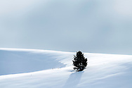 Standing against the elements a tenacious tree thrives where no others could on a snowy Wyoming Ridge in  Bondurant.