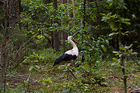 Carska Droga w Biebrzanskim Parku Narodowym, 06.07.2019. N/z bocian bialy ( Ciconia ciconia ) chodzacy po lesie przy Carskiej Drodze. Zazwyczaj bocianow nie spotyka sie w lesie, bo ich biotopem sa otwarte przestrzenie - laki nad rzekami, doliny rzek, czesto gniazduje w poblizu siedzib ludzkich, unika miejsc mocno zadrzewionych, w tym wlasnie lasow fot Michal Kosc / AGENCJA WSCHOD