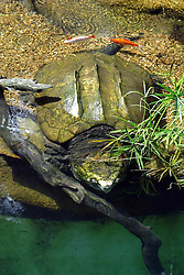 24 July 2005.  <br /> Alligator Snapping Turtle.<br /> Memphis Zoo.  Memphis TN (Photo by Alan Look)