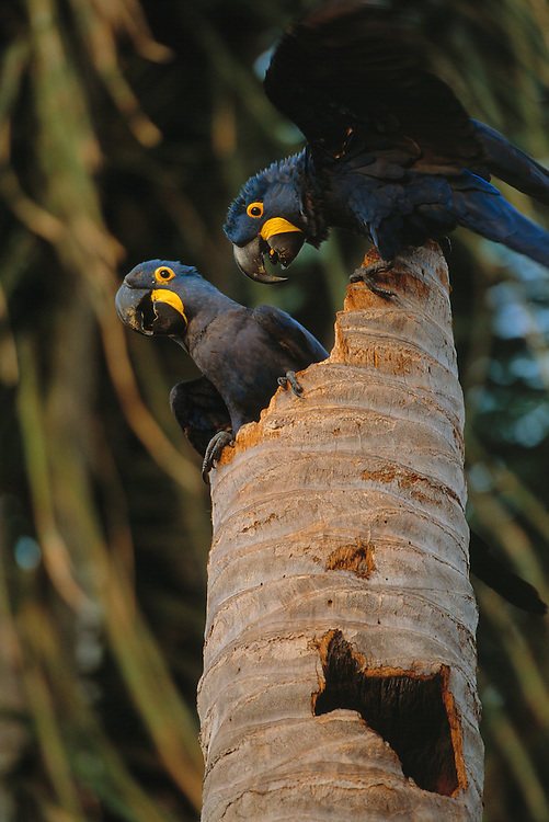 Hyacinth Macaw, Andorhynchus hyacinthinus, Pantanal, Brazil
