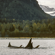 """Based on differences in their lifestyles and food preferences, orcas are characterised as """"resident"""" and """"transient"""". These are transient orcas that were probably hunting for seals up in the glacial inlets of Glacier Bay. Transient orcas generally form smaller and more variable social groupings than residents, roam over a larger area of the coastal waters, and their appearance in particular places is not so predictable. They feed primarily on sea mammals such as seals and sea lions. The name """"killer whale"""" probably stems from observations of transient orcas hunting.<br /> Resident Orcas.<br /> """"Residents"""" are more predicatable because they frequent the same areas where they have a regular source of food in the summer and fall. They feed on salmon, live in close and extended family groups (matrilines and pods) and are highly social. Families can be distinguished from one another by their dialects."""