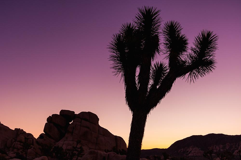 Joshua tree (Yucca brevifolia) and half moon, dawn light, March, Hidden Valley, Joshua Tree National Park, Mojave Desert, San Bernardino, California, USA