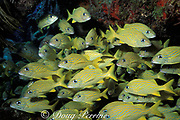 French grunts, Haemulon flavolineatum, <br /> pack densely into shipwreck,<br /> Bahamas ( Western Atlantic Ocean )