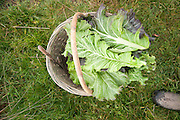 Harvested greens sitting in basket.