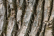 I photographed this tree mostly because it was one of the largest Black Cottonwood (Populus balsamifera) tree trunks I'd ever seen. I also liked the details and patterns in the bark on the lower part of the trunk.  This Cottonwood was photographed on a trail at Derby Reach Regional Park in Langley, British Columbia, Canada.