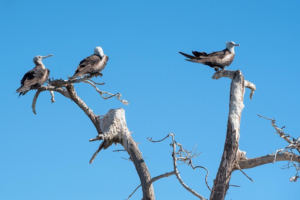 Frigatebird nesting colony, Espiritu Santo Island, BCS, Mexico