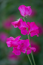 Lathyrus odoratus  'Robert Uvedale' - Sweet pea. WILL NEED RETOUCHING!