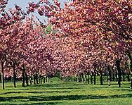 Cherry Esplanade, Cherry Blossoms, Blowing in the wind, Brooklyn Botanic Garden, Brooklyn, New York, Brooklyn Botanic Garden, Brooklyn, New York