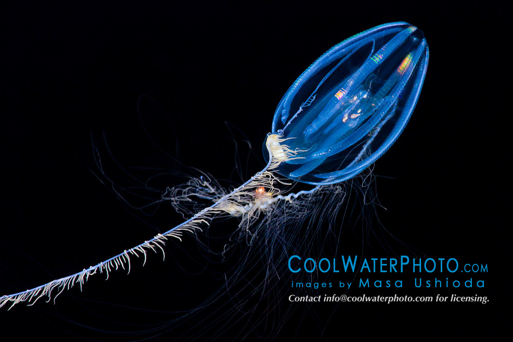 sea gooseberry, Pleurobranchia sp., comb jelly, extending tentacles to capture copepods and other zooplankton, a bioluminescent ctenophore, offshore at night, Kona Coast, Big Island, Hawaii, USA, Pacific Ocean