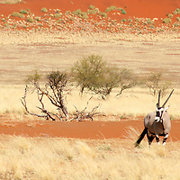 Africa, Namibia, Sossusvlei. A lone Oryx compliments the wild landscape of the NamibRand.
